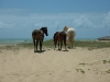 Cavalli (Cavalos) in libertà