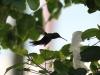 Colibrì (Beija-flor)