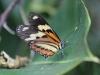 Farfalla (Borboleta)